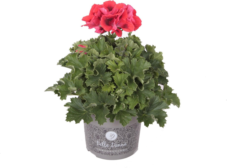 Franse Geranium (Pelargonium grandiflorum) D 12 H 15 cm