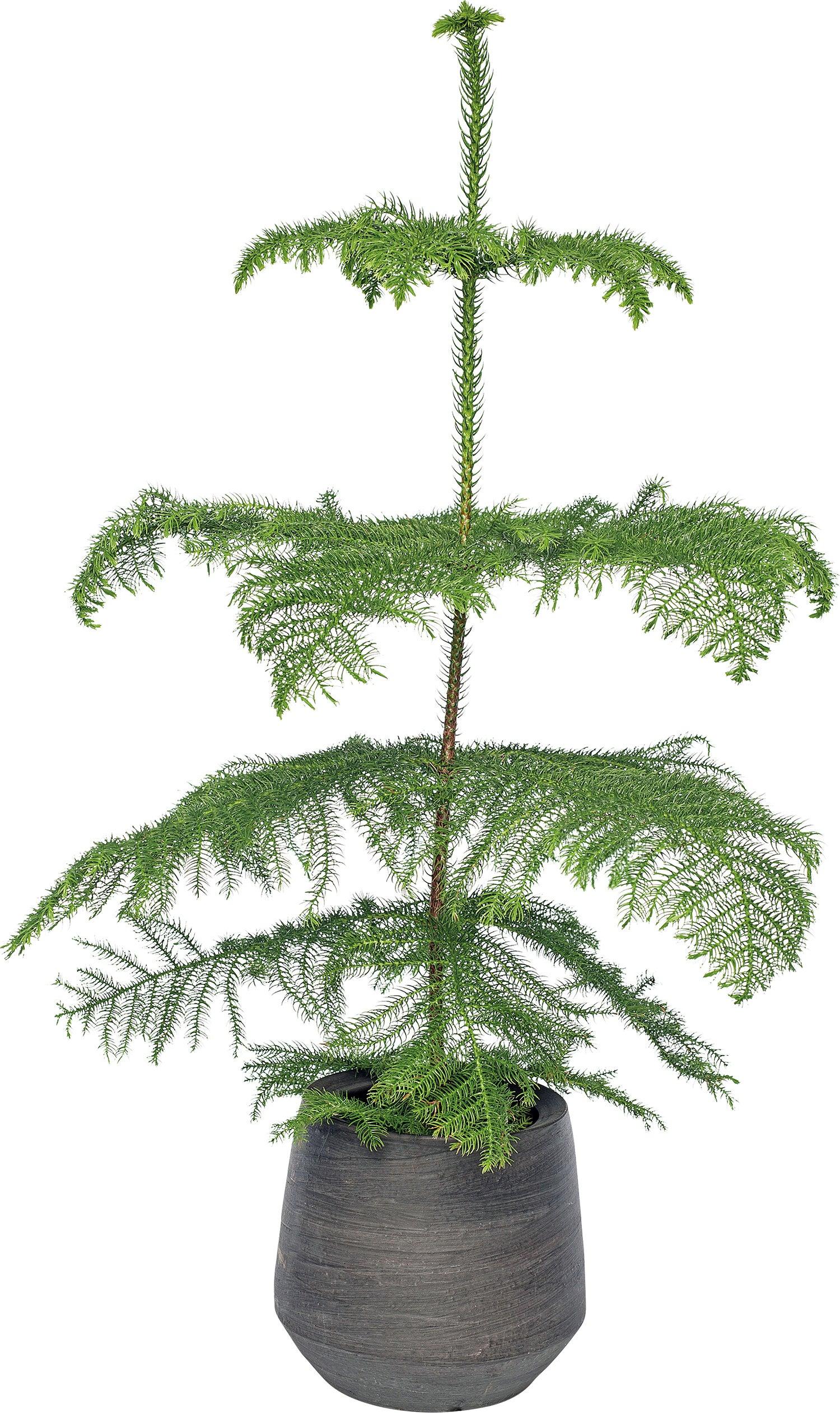 Kamerden (Araucaria heterophylla) D 21 H 100 cm