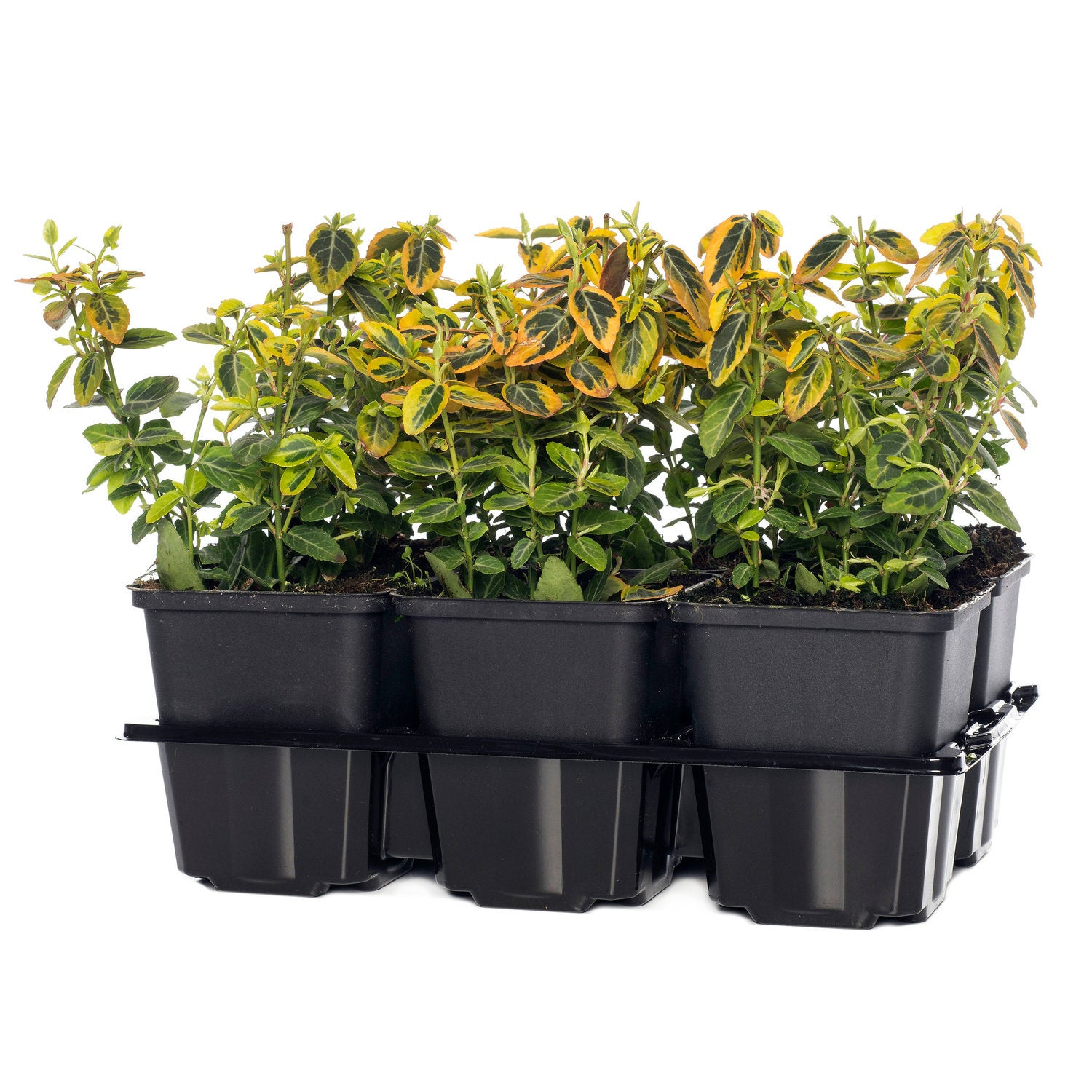 Euonymus (Euonymus Fortunei Emerald 'N Gold) D 9 cm