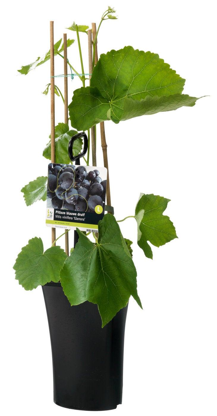 Pitloze blauwe druif (Vitis vinifera 'Glenora')