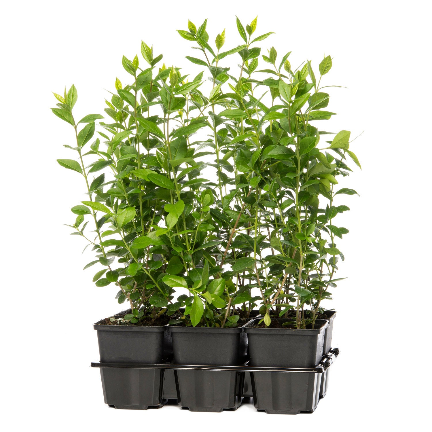 Liguster (Ligustrum ovalifolium) 6-pack