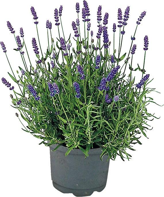 Lavendel (Lavendula angustifolia 'Hidcote') D 13 H 20 cm