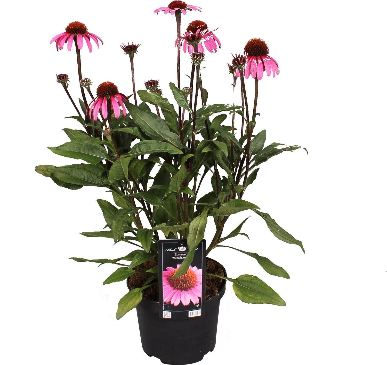 Zonnehoed (Echinacea purpurea) D 17 H 40 cm
