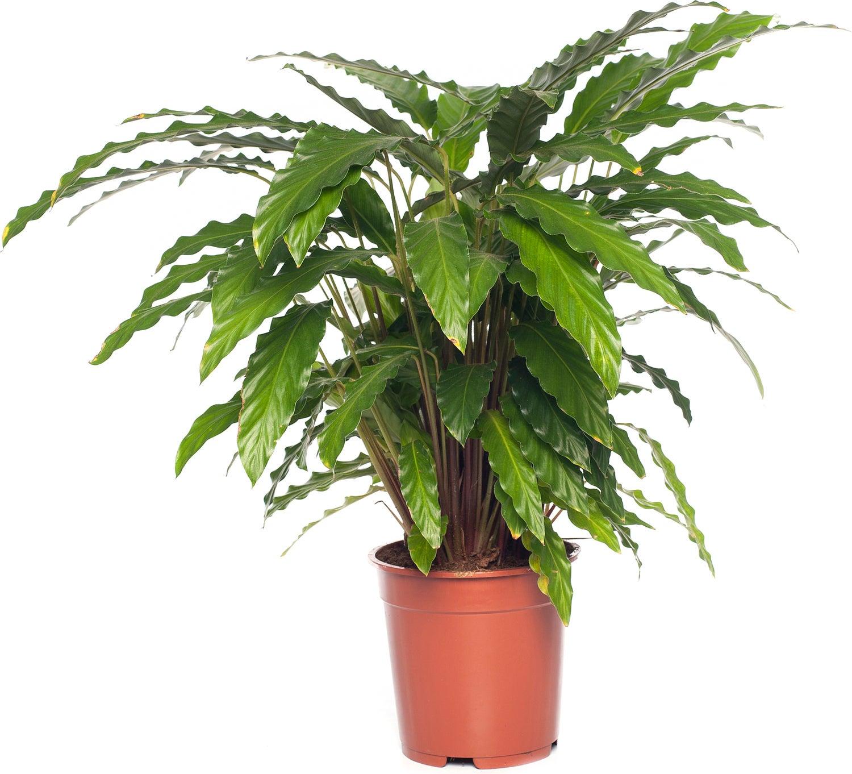 Calathea (Calathea rufibarba 'Tropistar') D 21 H 100 cm