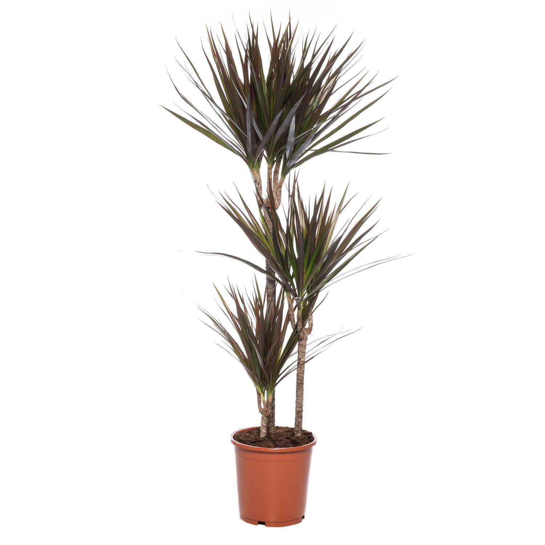 Drakenbloedboom (Dracaena marginata 'Magenta') D 21 H 120 cm