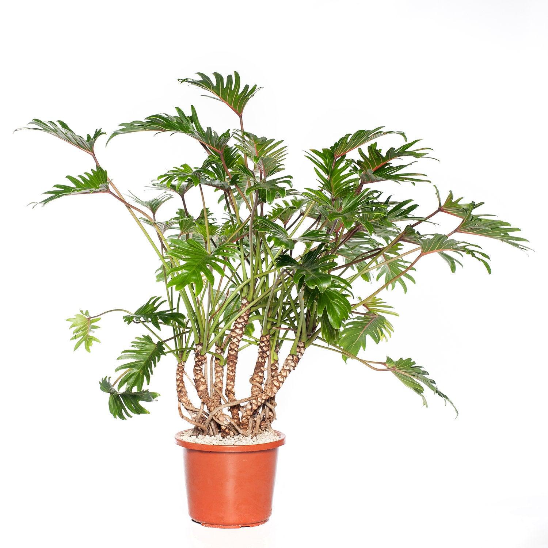 Philodendron (Philodendron xanadu) D 32 H 100 cm