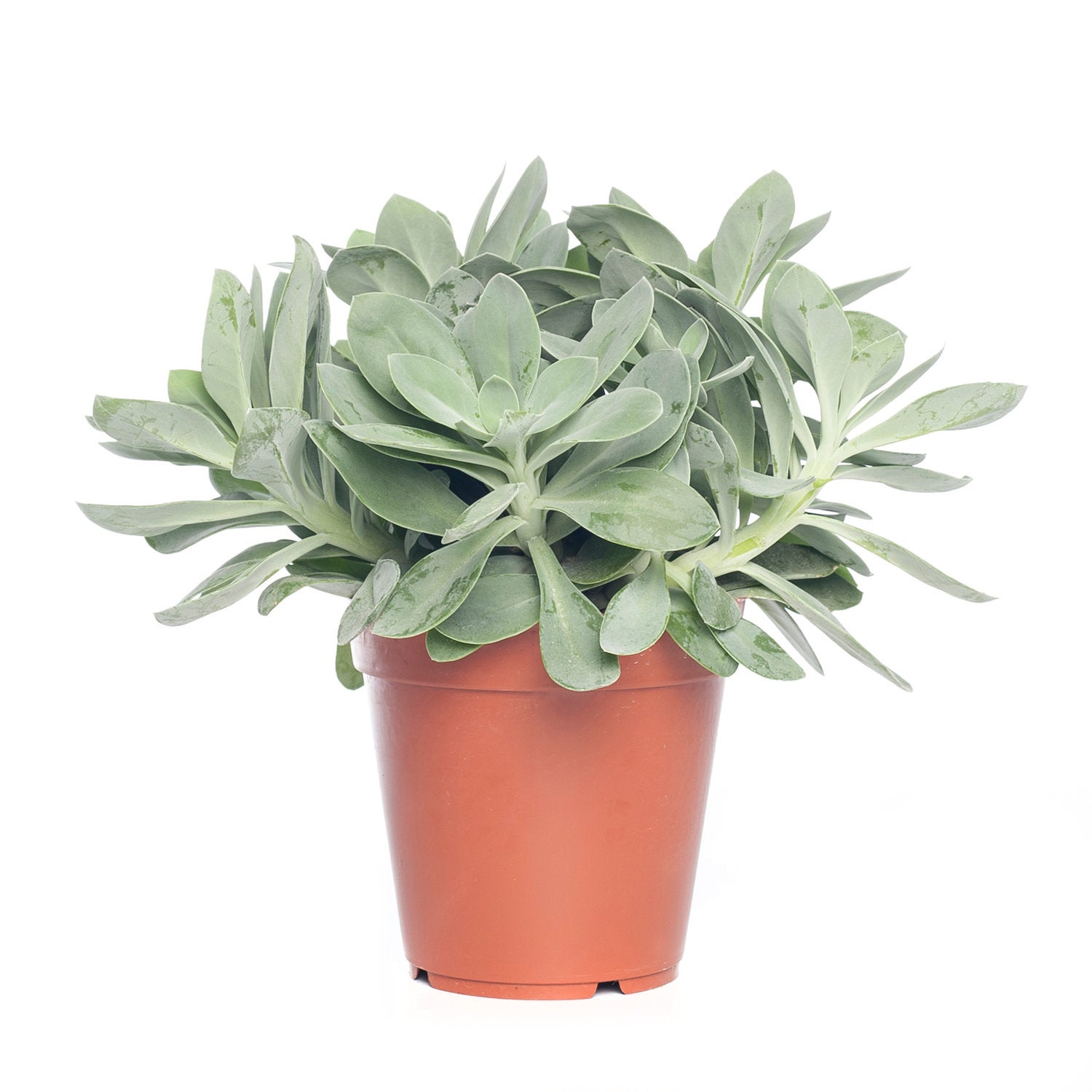 Kruiskruid (Senecio mountain fire 'Bright Bleu') D 15 H 25 cm