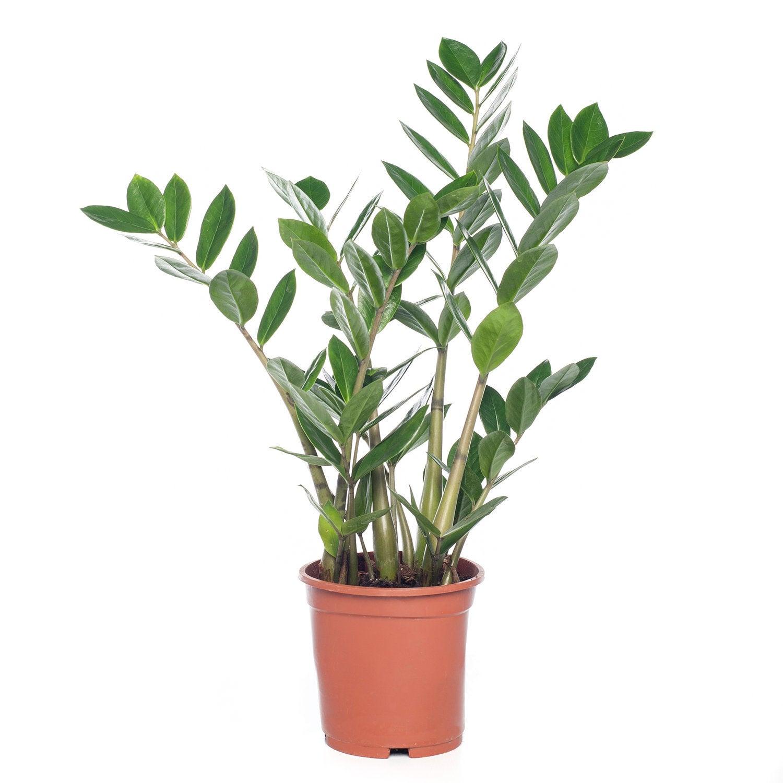 Zamioculcas (Zamioculcas zamiifolia) D 14 H 45 cm