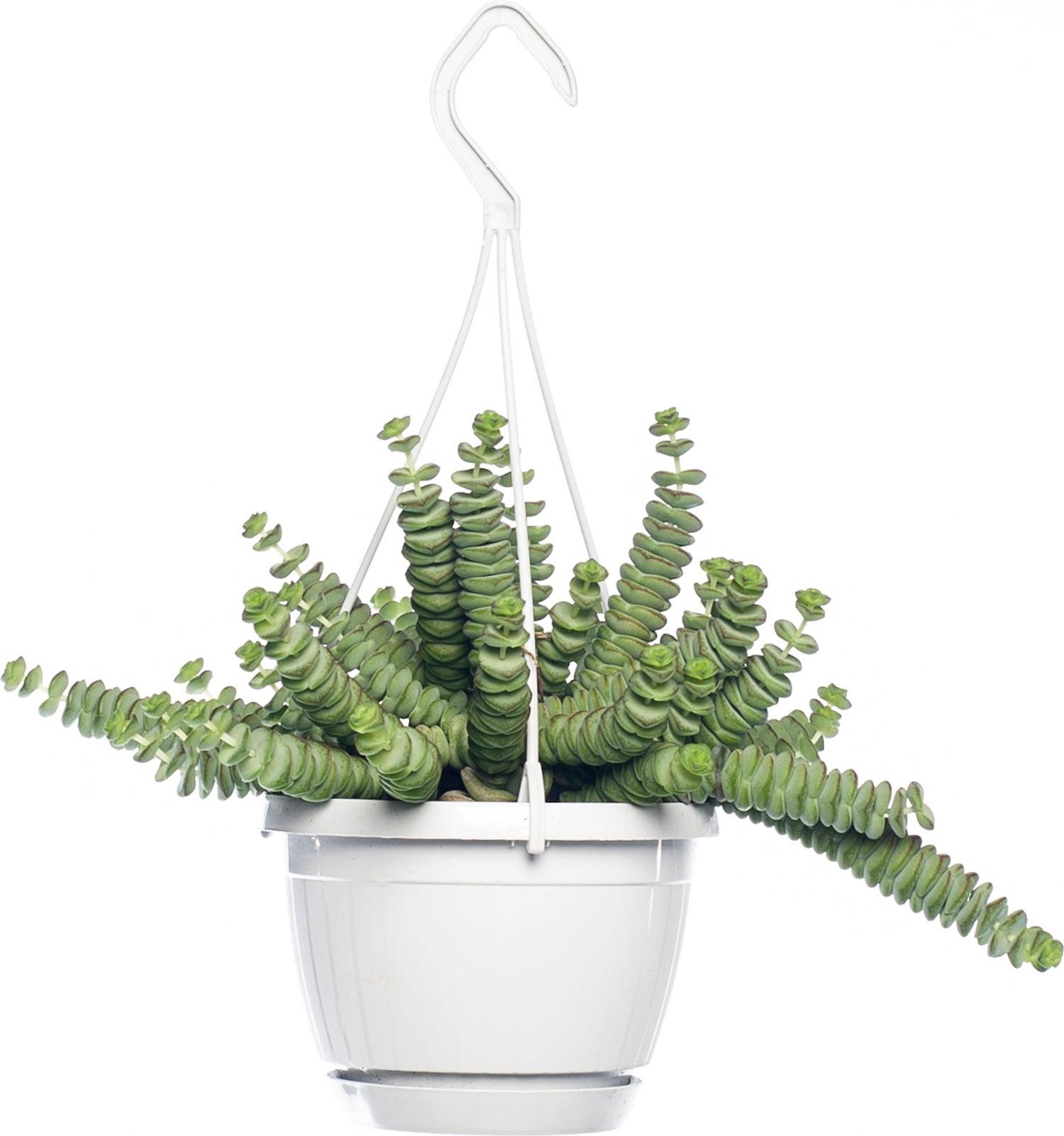 Crassula (Crassula marnieriana 'Hottentot') D 14 H 30 cm