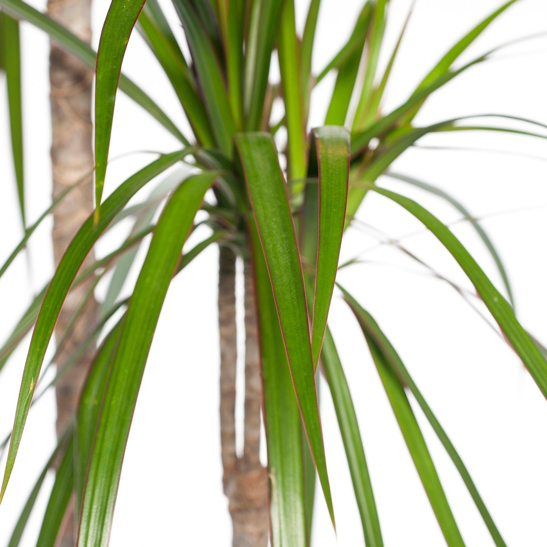 Drakenbloedboom (Dracaena marginata) D 27 H 160 cm