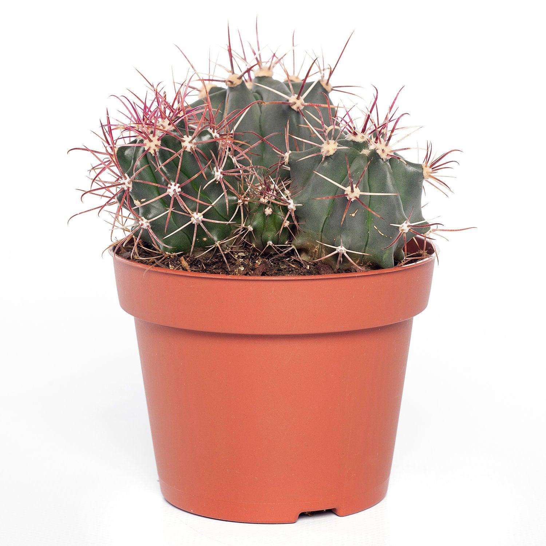 Cactus mix (Cactus) D 12 H 20 cm