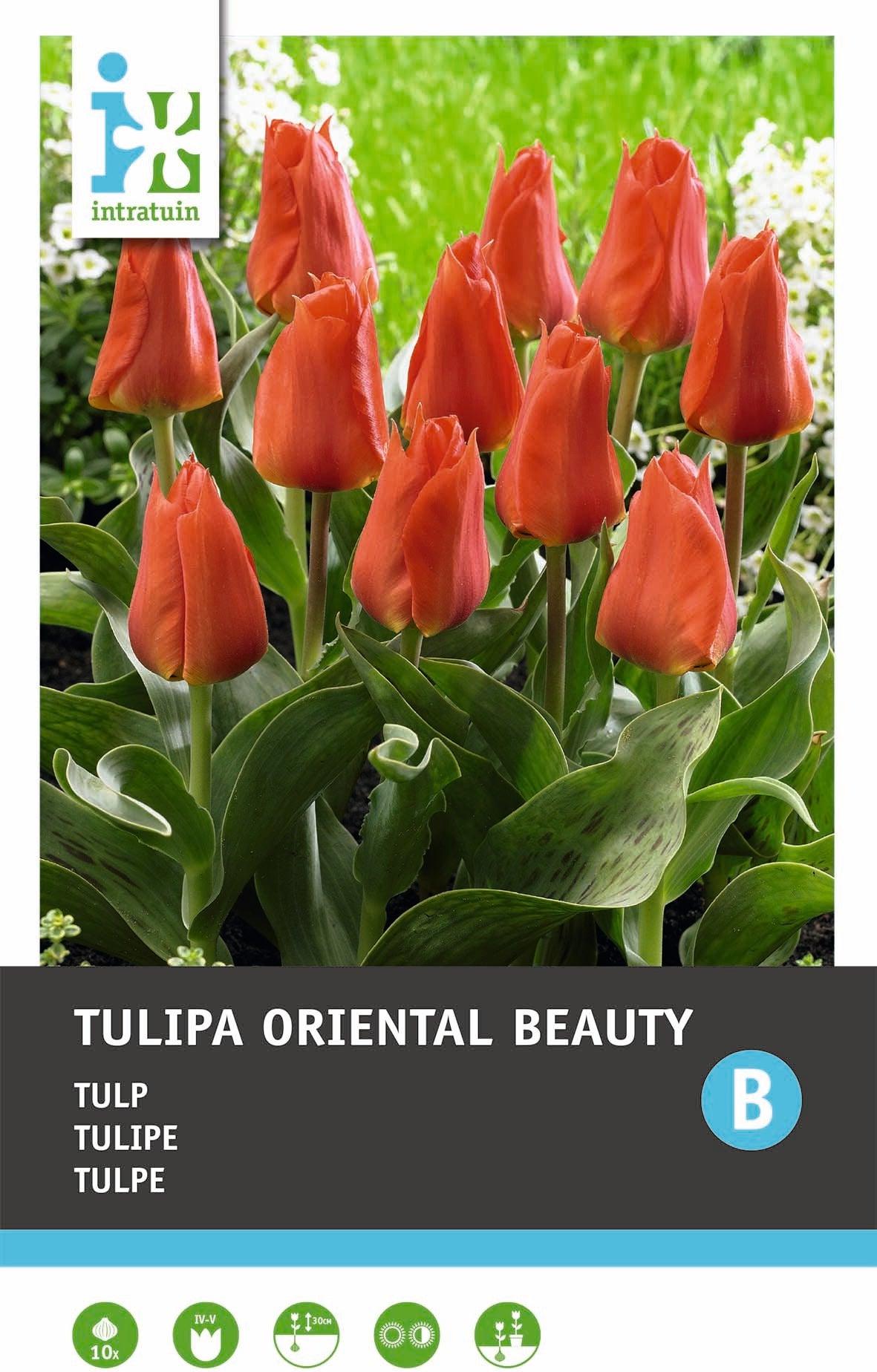 Tulp (Tulipa 'Oriental Beauty') 10 stuks