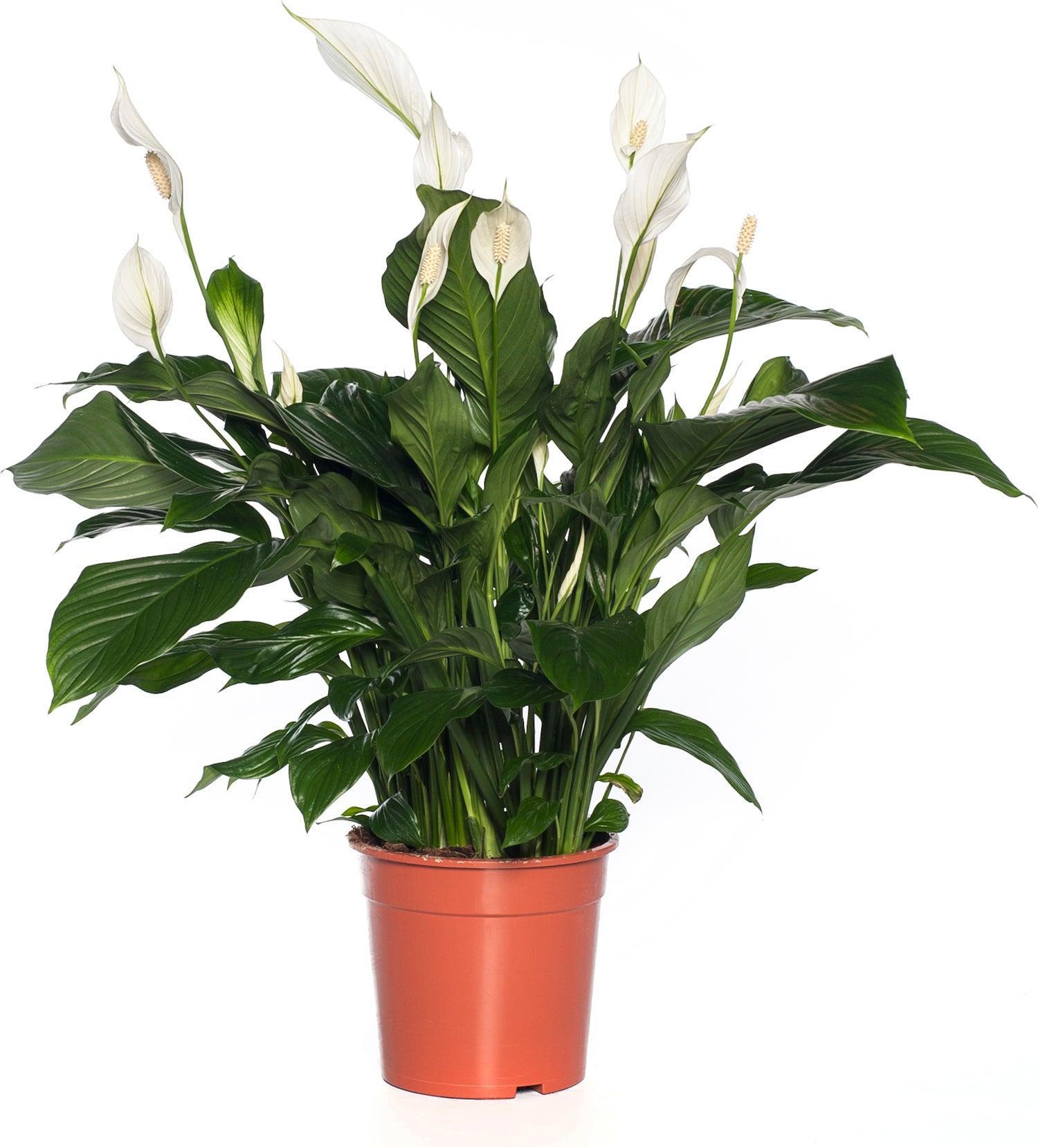 Lepelplant (Spathiphyllum 'Sweet Lauretta') D 24 H 105 cm