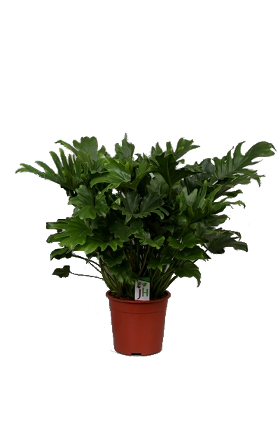 Philodendron (Philodendron selloum 'Little Hope') D 21 H 60 cm