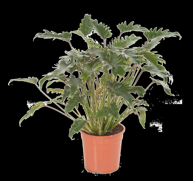 Philodendron (Philodendron 'Xanadu') D 27 H 70 cm