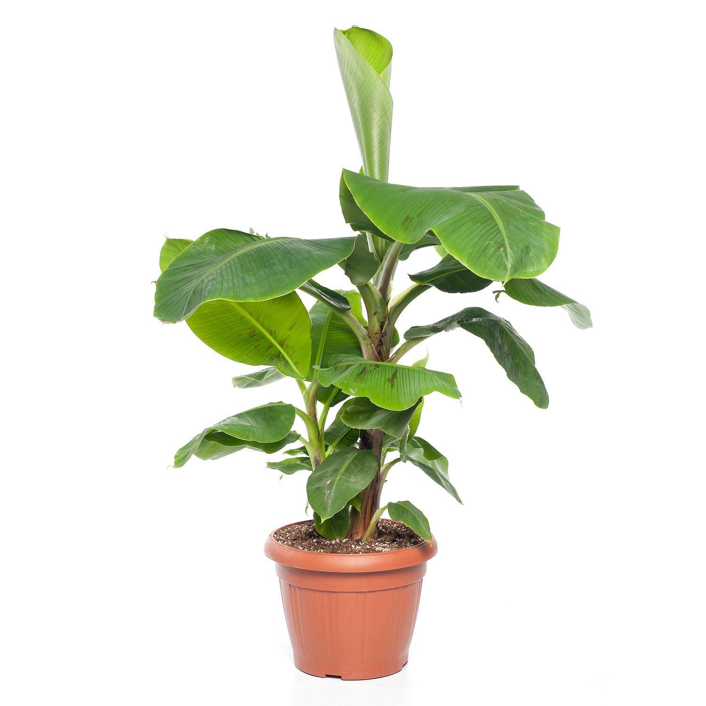 Bananenplant (Musa 'Dwarf Cavendish') D 27 H 100 cm