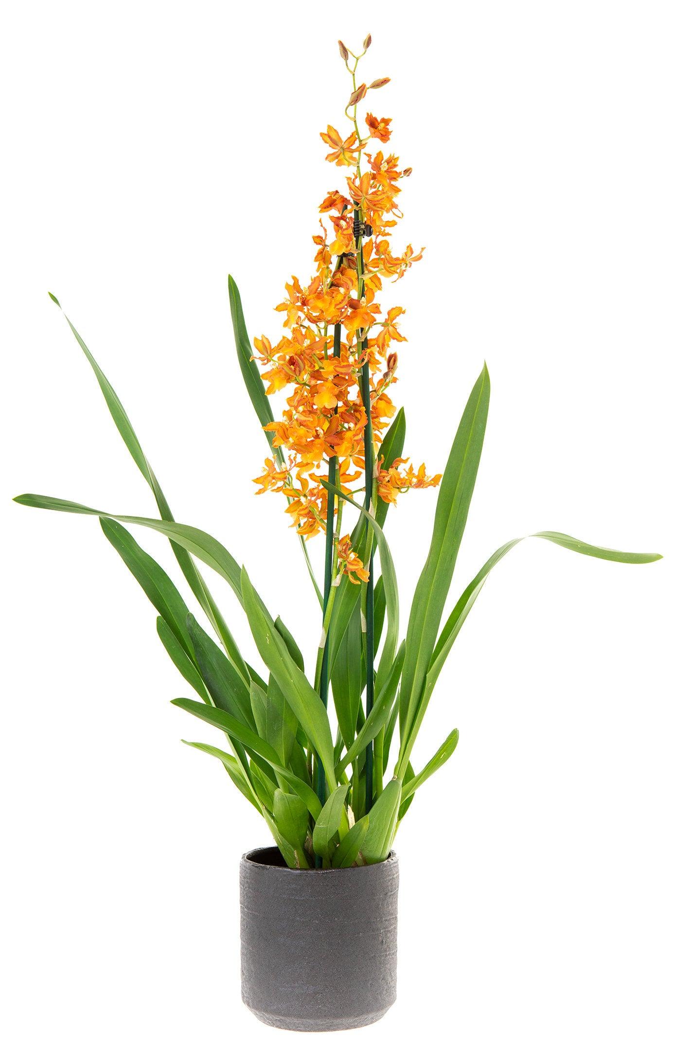 Cambria-orchidee (Cambria 'Catatante' ) D 12 H 60 cm