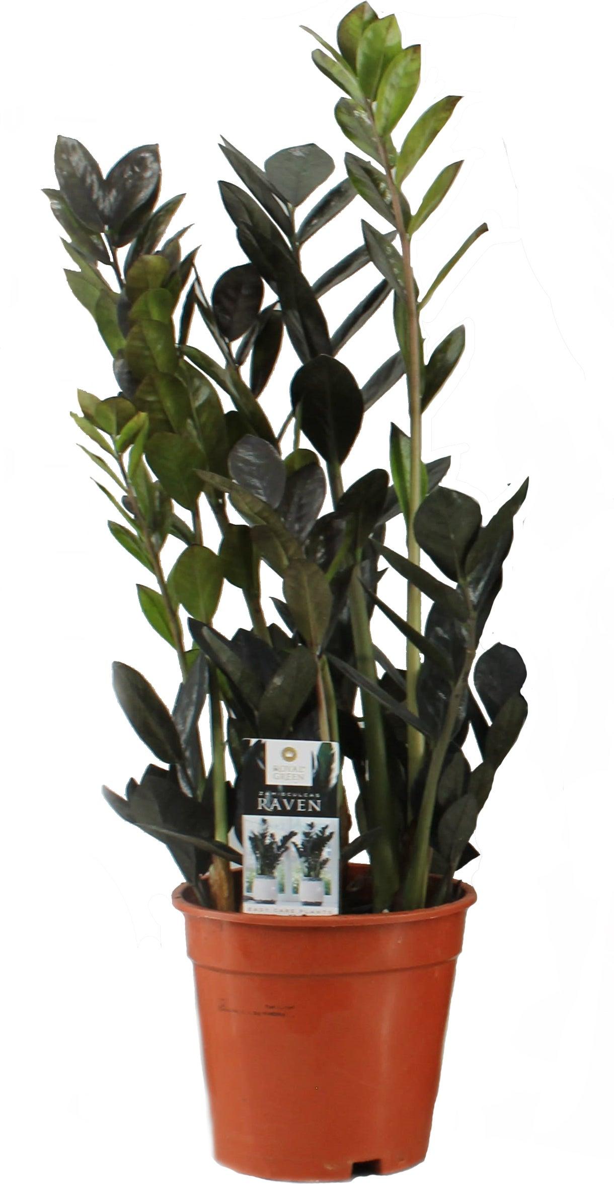 Zwarte Zamioculcas (Zamioculcas Raven) D 17 H  cm