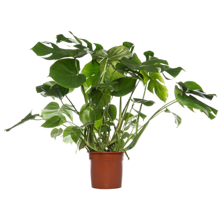 Gatenplant (Monstera pertusum) D 24 H 70 cm