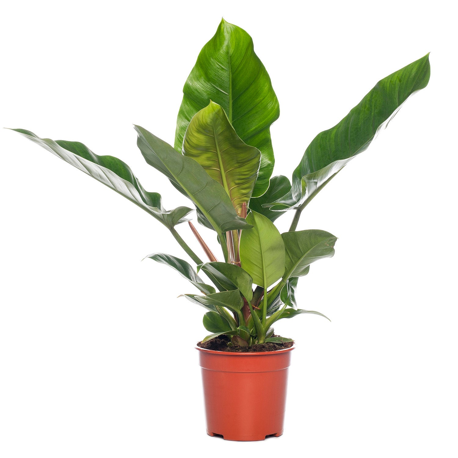 Philodendron (Philodendron 'Imperial Green'.) D 27 H 75 cm