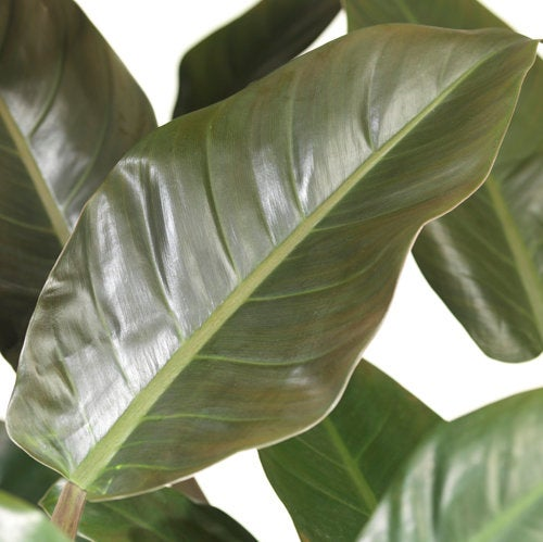 Philodendron (Philodendron 'Imperial Red') D 27 H 75 cm