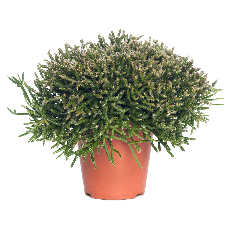 Rotskoraal (Rhipsalis burchellii) D 21 H 55 cm