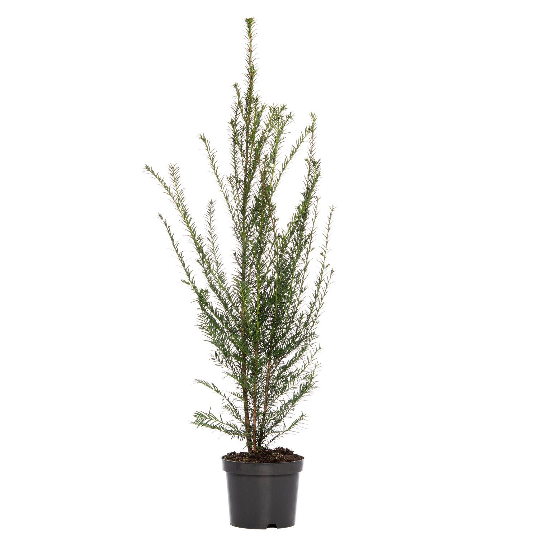 Venijnboom (Taxus baccata) D 21 H 80 cm