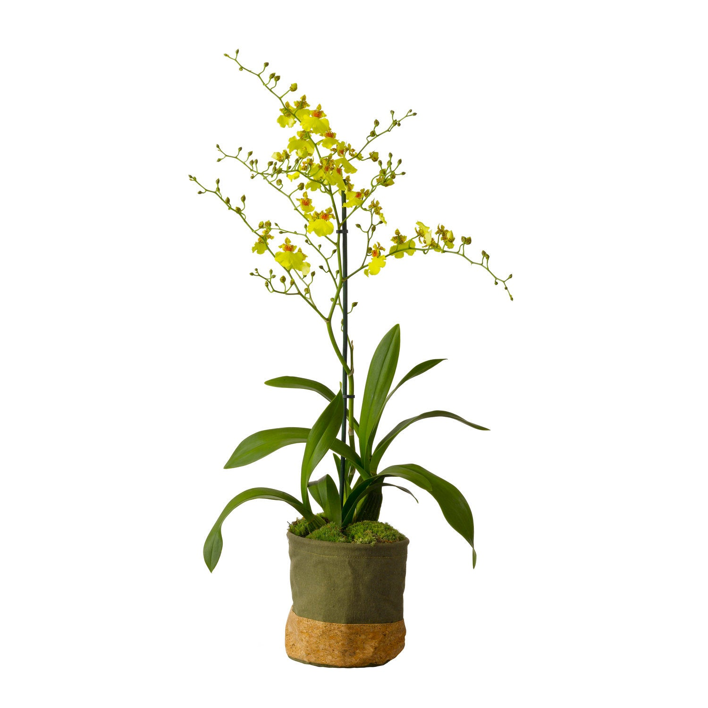Tijgerorchidee (Oncidium 'Munsterland Stern' ) D 12 H 45 cm