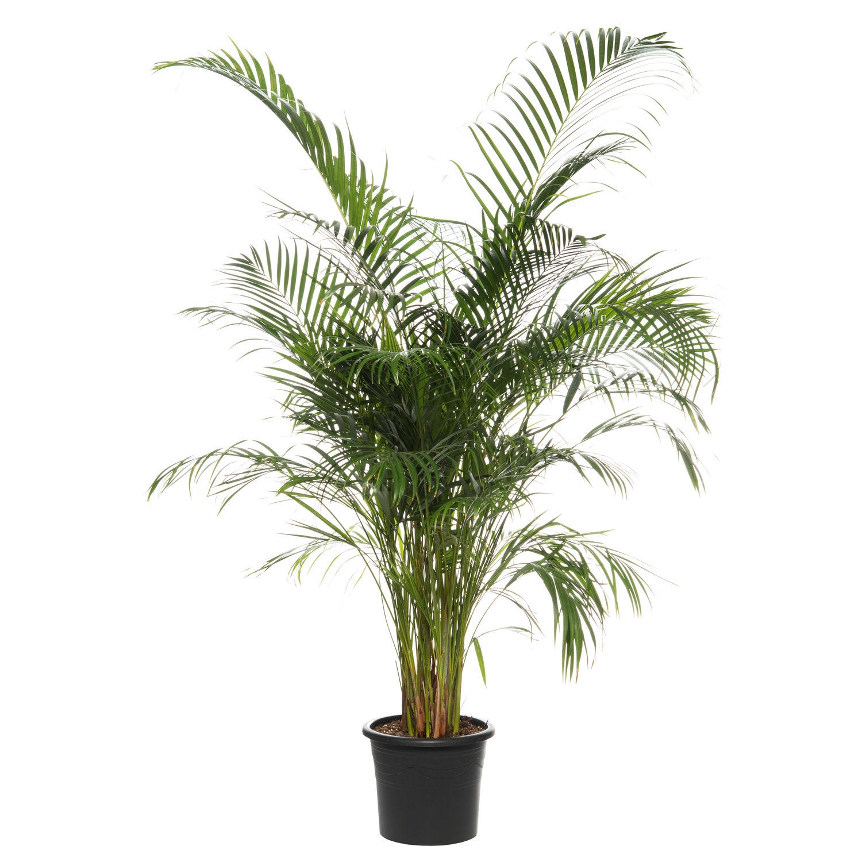 Goudpalm/ Areca palm (Dypsis lutescens) D 32 cm