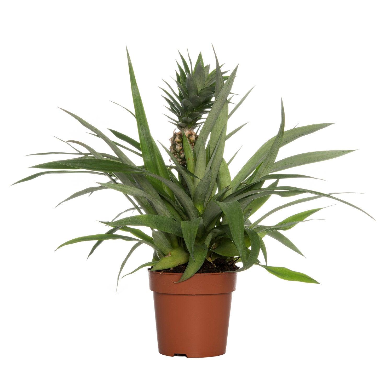 Ananas (Bromelia ananas 'Sol') D 12 H 45 cm