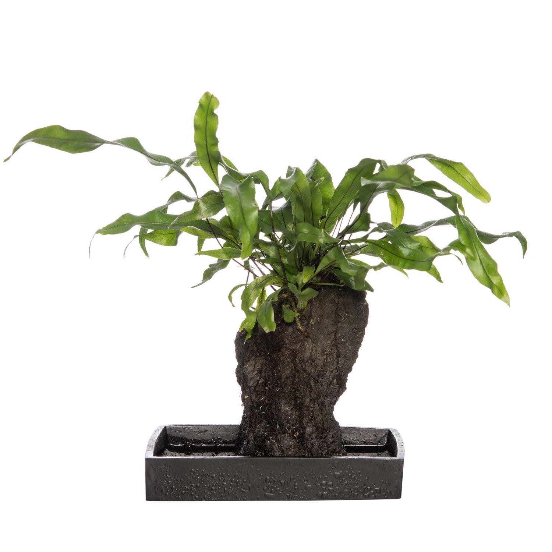 Kangoeroevaren (Microsorum diversifolium) D 17 x 10,5 H 30 cm
