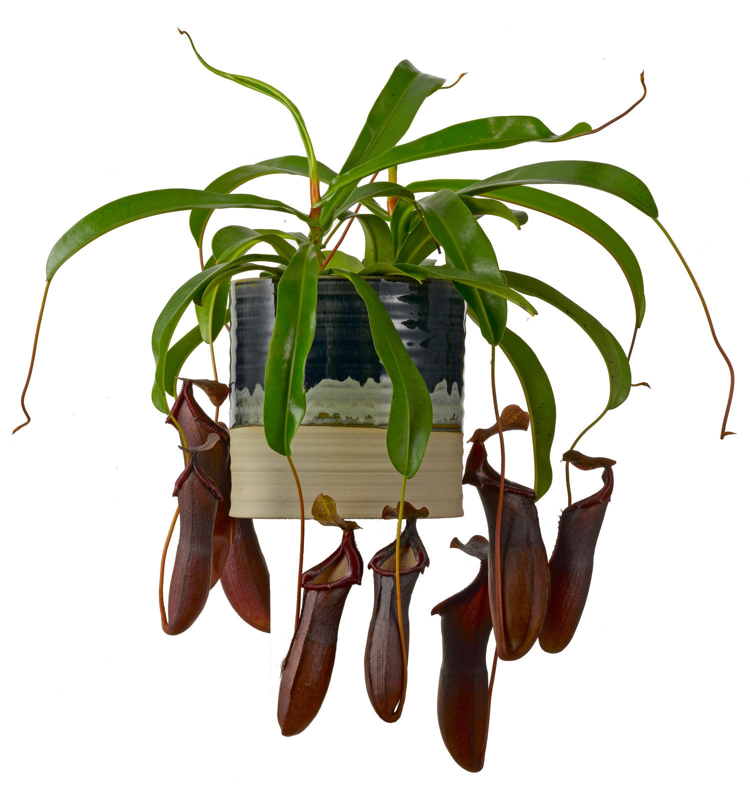 Bekerplant (Nepenthes 'Monkey Jars') D 14 H 50 cm
