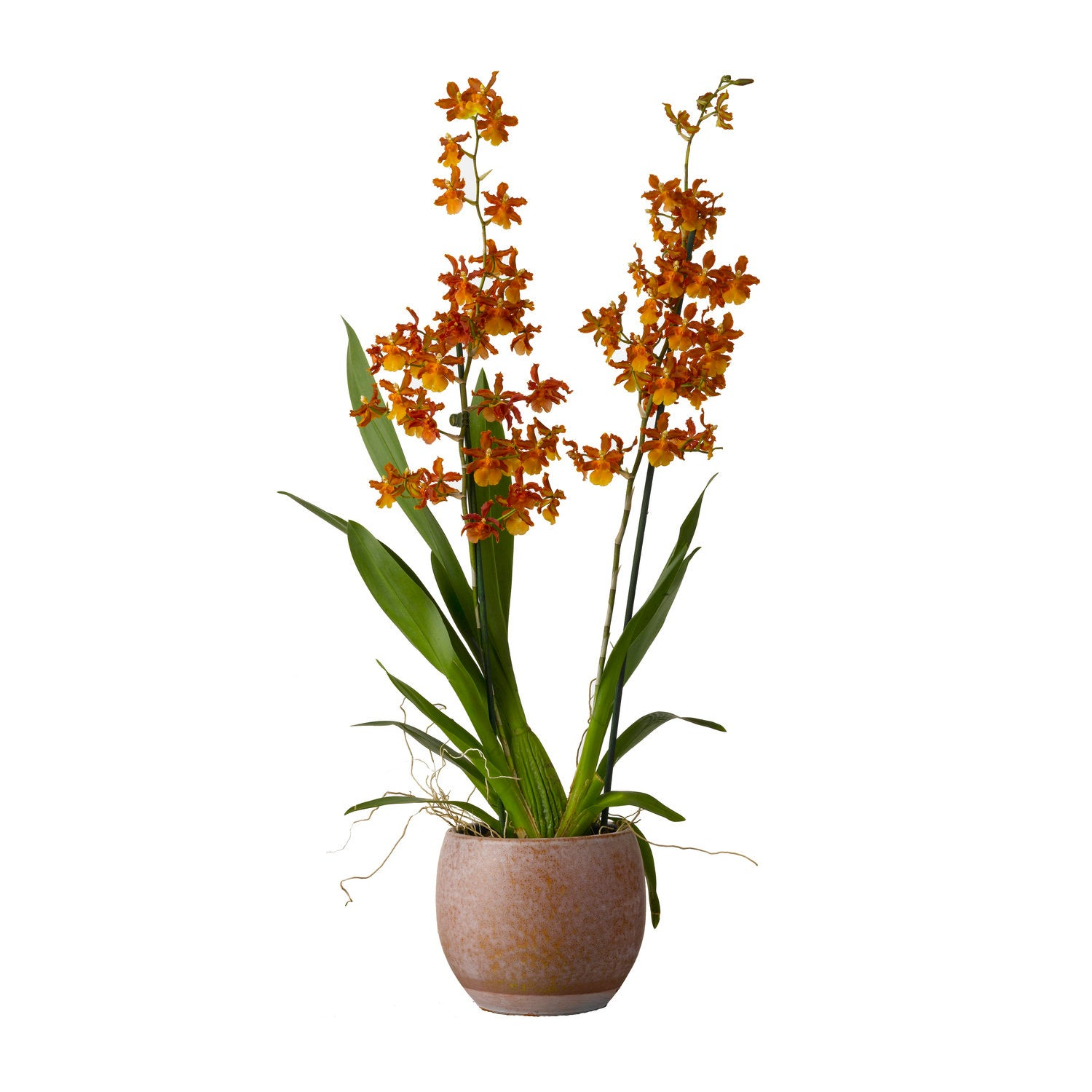 Cambria-orchidee (Cambria 'Catatante') D 12 H 30 cm