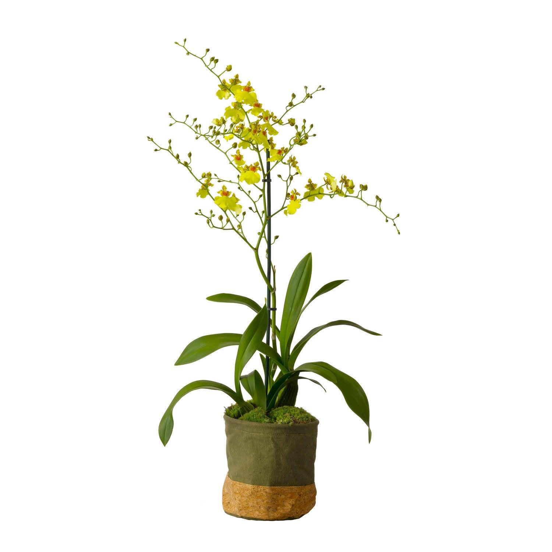 Tijgerorchidee (Oncidium 'Munsterland Stern') D 12 H 60