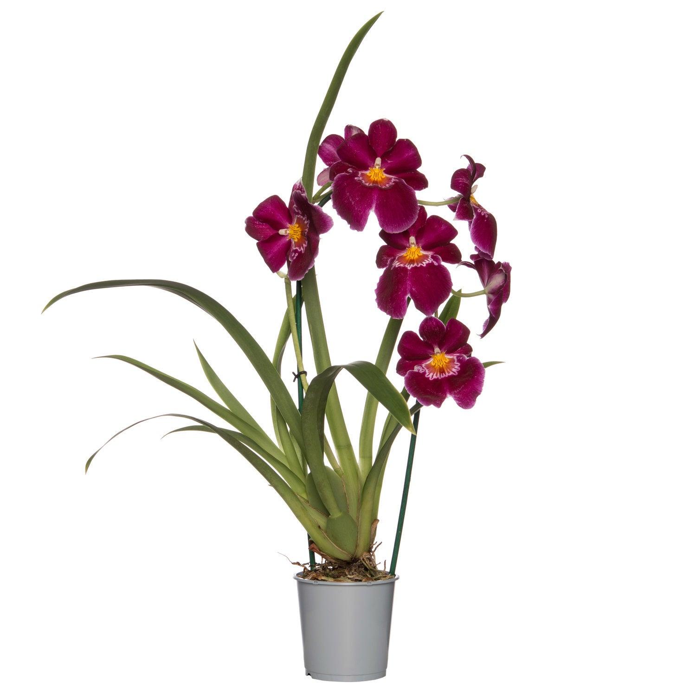 Viooltjesorchidee (Miltonia) D 12 H 45 cm