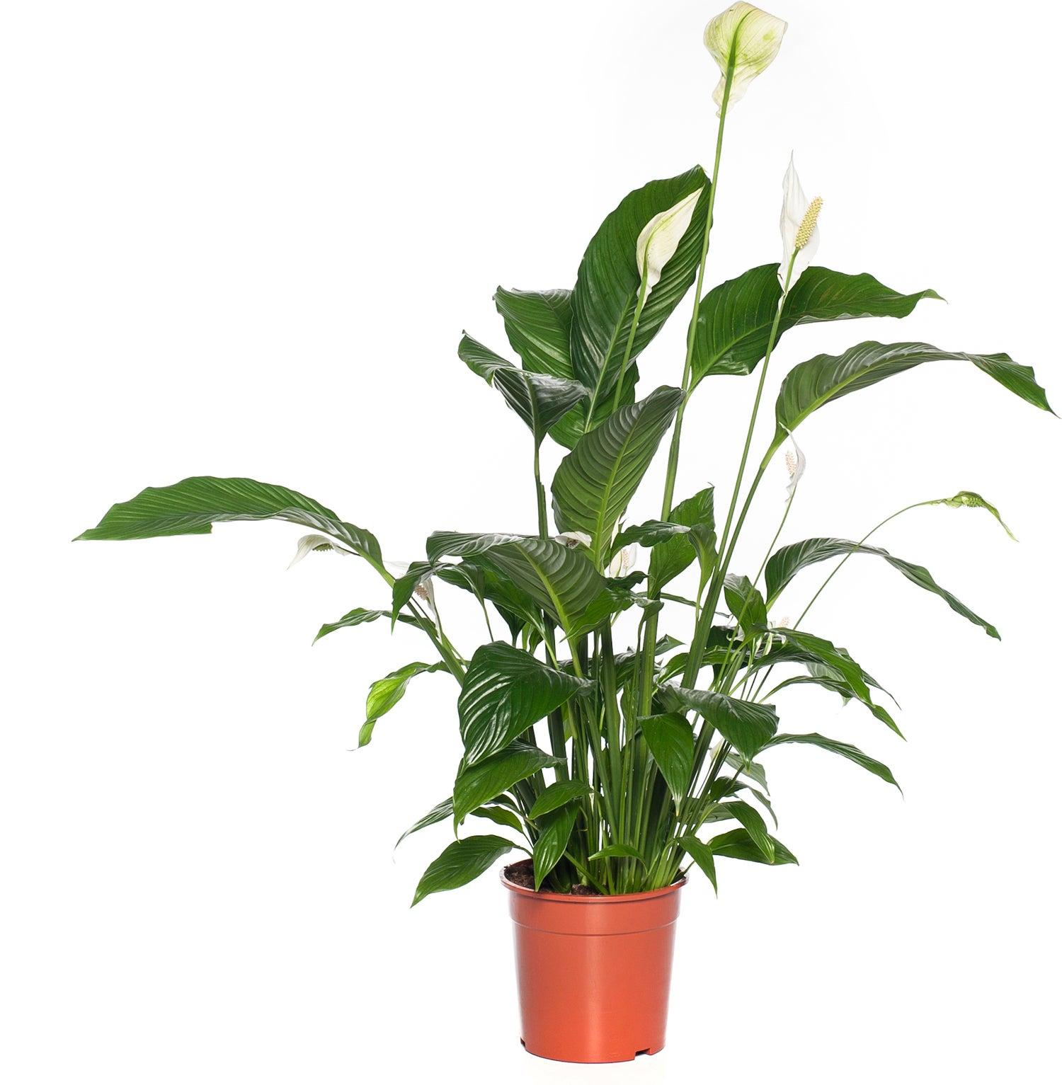 Lepelplant (Spathiphyllum 'Sweet Sebastiano') D 24 H 130 cm