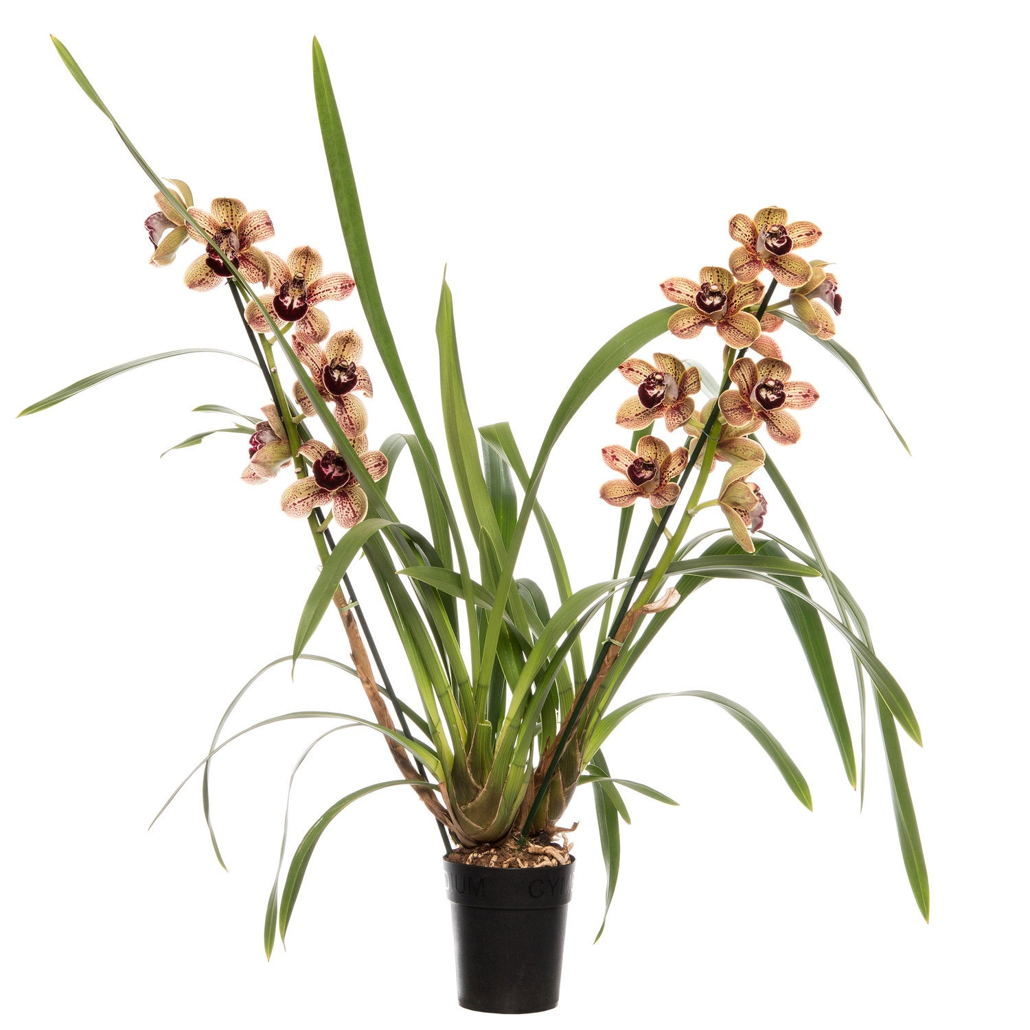 Cymbidium (Cymbidium 'Los Angeles') D 14 H 80 cm