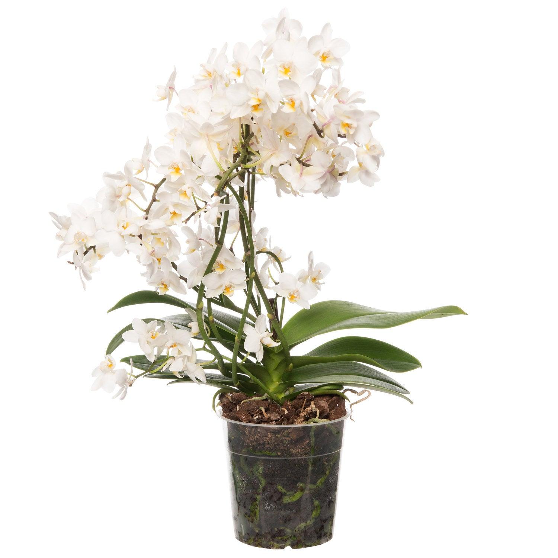 Vlinderorchidee (Phalaenopsis 'Willd') D 12 H 55 cm