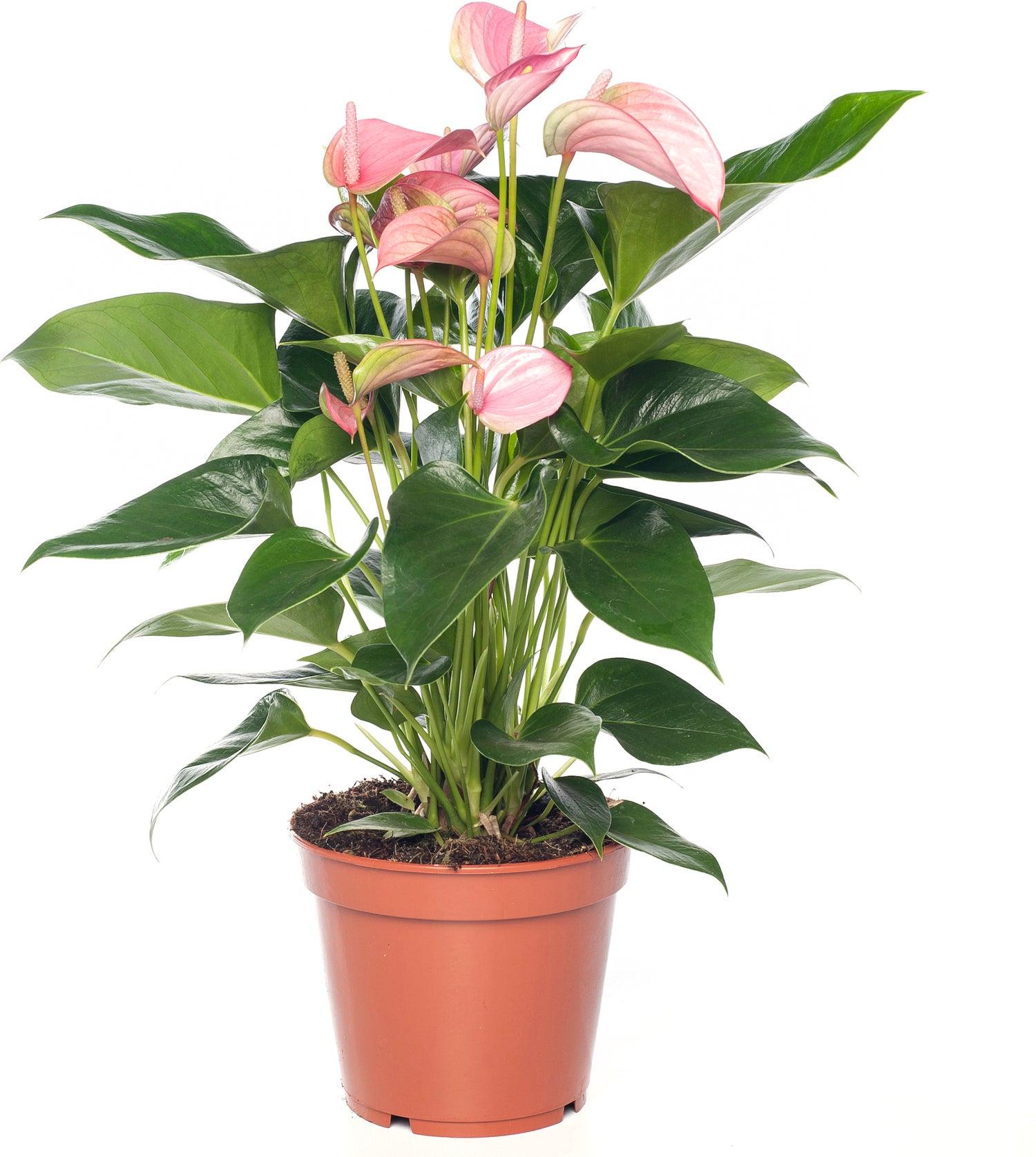 Flamingoplant (Anthurium andreanum 'Pink Jolie') D 12 H 40 cm