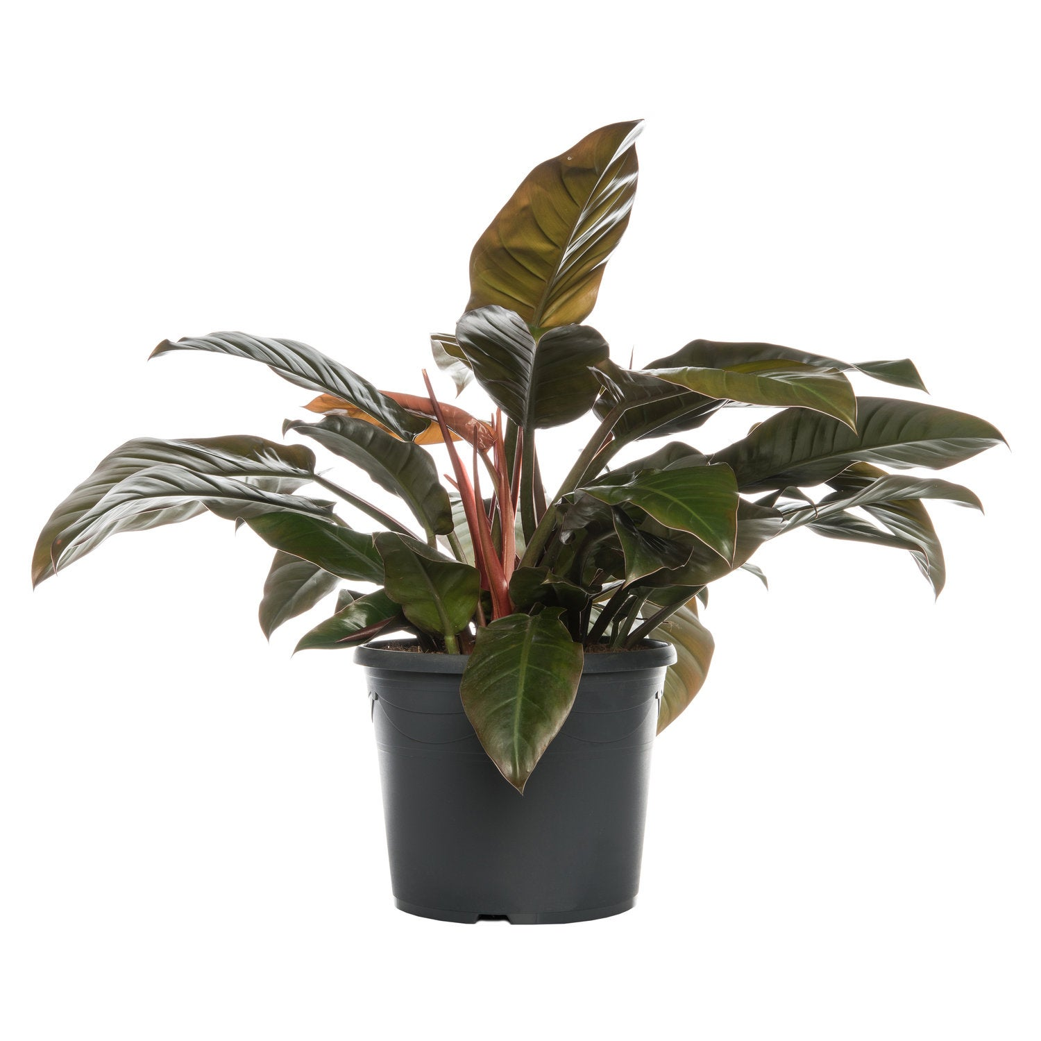 Philodendron (Philodendron 'Imperial Red') D 35 H 90 cm