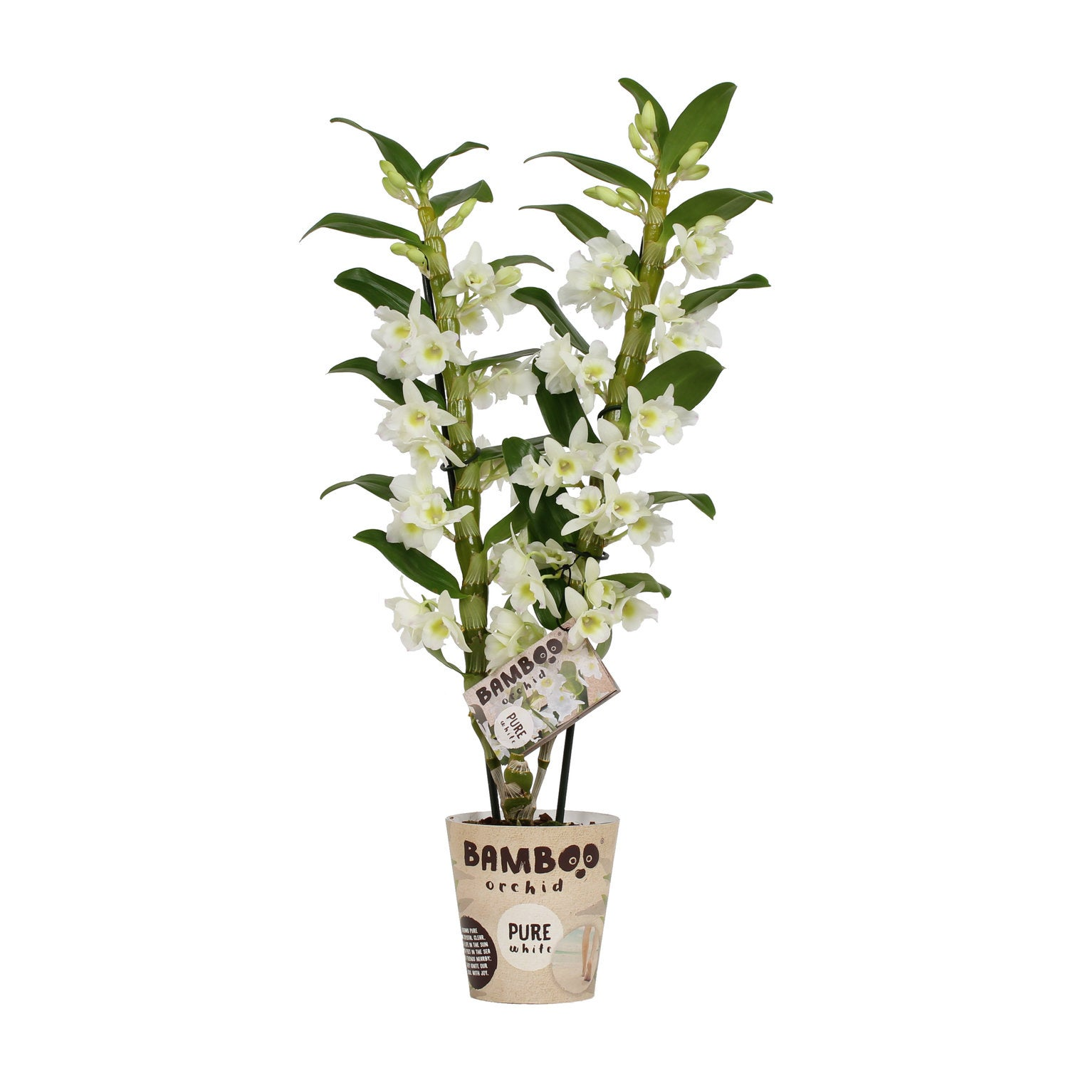 Bamboo Orchid (Dendrobium 'Pure White') D 12 H 65 cm