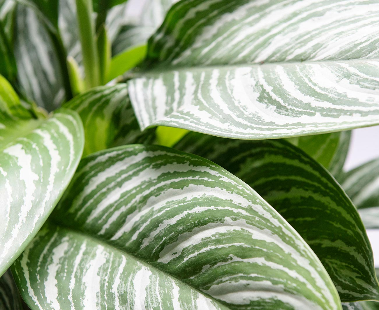 Kamerplant Calathea blad