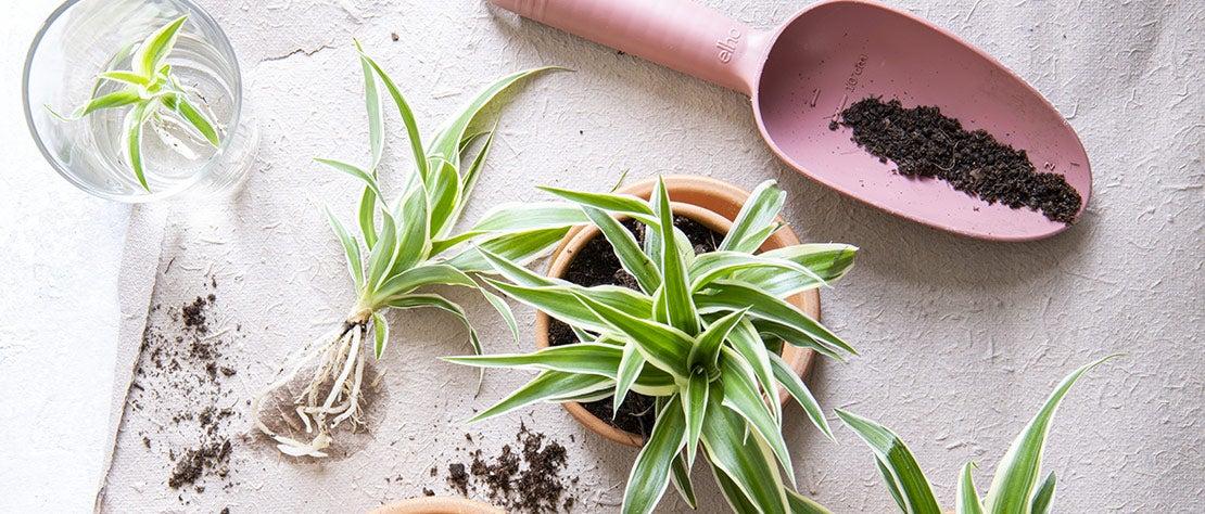 Kamerplantencursus: Kamerplant stekken