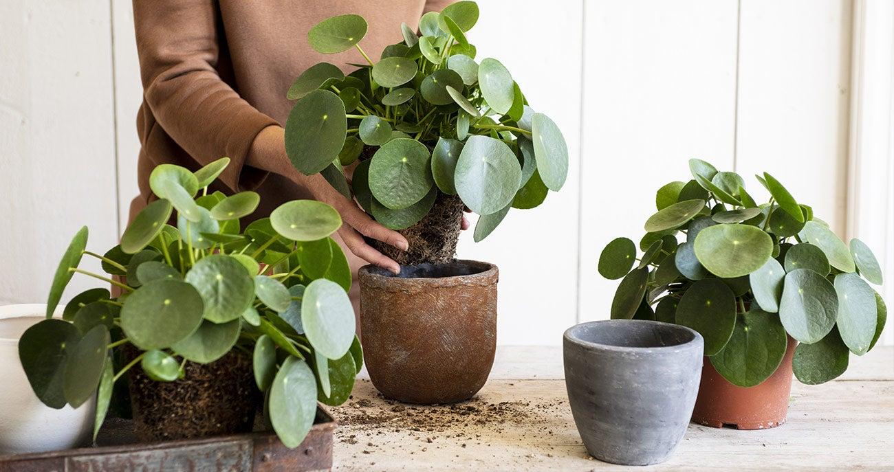 Pannenkoekenplant verpotten