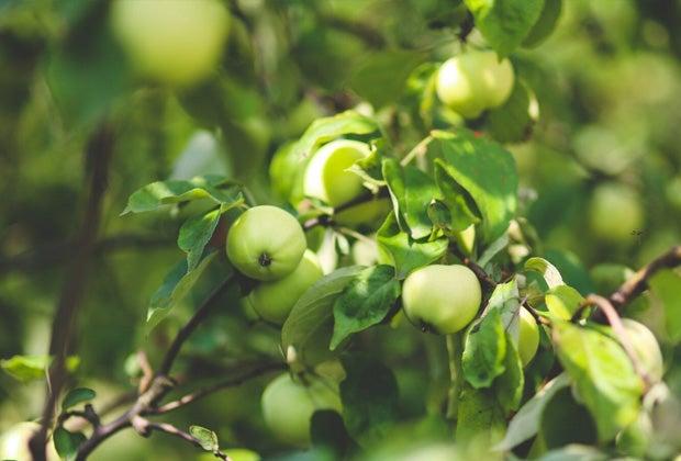 Appelboom snoeien en verzorgen