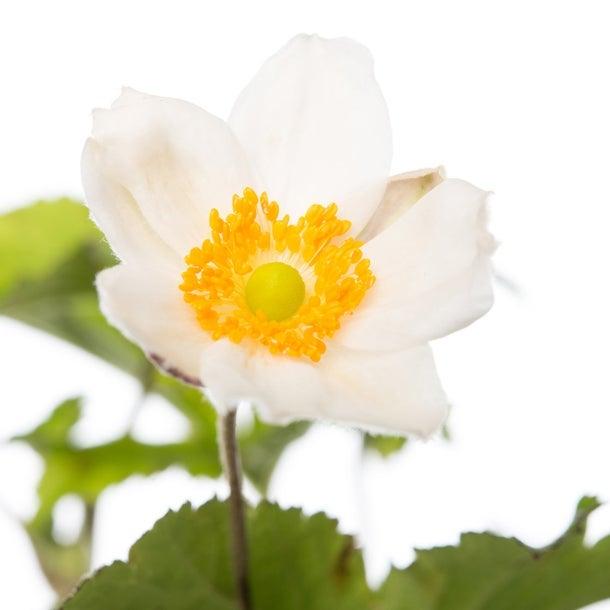 Herfstanemoon (Anemone hybrida 'Honorine Jobert')