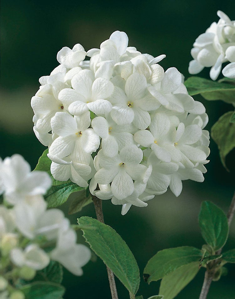 Sneeuwbal (Viburnum tinus 'Lisa Rose')